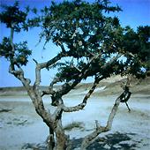 Afrikanischer Weihrauchbaum