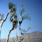 Indischer Weihrauchbaum (Boswellia serrata Roxb.)